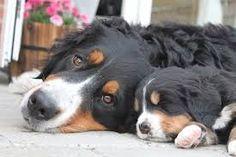 Bildergebnis für Berner Sennenhund