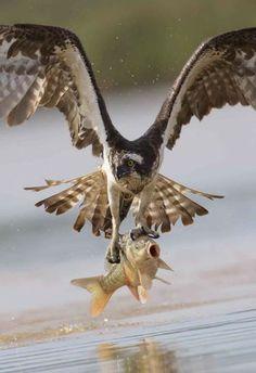 Lituania, falco a caccia di prede: catturata una carpa