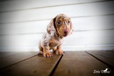 17 Best Miniature Dachshund breeders in Arkansas images in