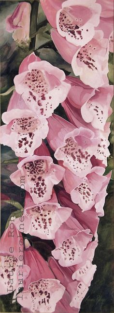 Original large watercolor of pink foxglove is a detailed garden painting and an original botanical flower nature art hand painted by Laurie