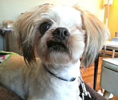 """Our favorite rescue dog Filbert Hazelnut. He is a one eyed Shih Tzu - his previous owner abandoned him after he was attacked by a dog, sustaining a horrible eye injury. Luckily, someone rescued him, had him all fixed up, and now he's ours! He is so forgiving considering what he's been through. The sweetest pup we could ever ask for. Nicknames: Phil, Philly, Philly Haze, Filbert """"Left Eye"""" Hazelnut"""
