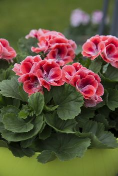 In March the Regal Pelargonium is the Houseplant of the month, a plant which is also known as Pelargonium grandiflorum. You only have to look at the size of the flowers and the colours, to understand how this spring flower has earned its second name. All Flowers, Spring Flowers, Beautiful Flowers, Growing Geraniums, Flowers Perennials, Flower Pictures, Garden Pots, Garden Inspiration, House Plants