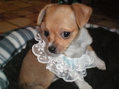 This puppy is wearing a prom garter..aww..