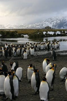Pinguinos Rey en Antartica, Chile // King Penguins in Antarctica, Chile. Places Around The World, Around The Worlds, King Penguin, Wale, Fjord, Cute Penguins, Pet Birds, Adventure Travel, Places To See