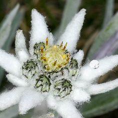 Best Flower Wallpaper, Nature Wallpaper, Alpine Flowers, Hummingbird Plants, Edelweiss, Dahlia Flower, Green Lawn, Flower Pictures, Science And Nature
