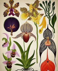 @mag.gieshep.herd An illustration of different orchids by botanical artist Katie Scott @katiekatiescott #katiescott #artist #botanical #painting #botany #ecology #nature #natural #orchids #variety #eco #tropical #tropics #exotic #petals #stilllife #study #floral #specimens #flowers #beautiful #gallery #lux #luxury #collection #gift #wildflowers #love #illustration