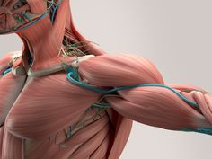 Acceleron Pharma said the first patient has been dosed in a Phase 2 clinical trial of its proprietary lead candidate drug to treat facioscapulohumeral muscular dystrophy (FSHD) — a… Human Anatomy Drawing, Human Body Anatomy, Anatomy Study, Anatomy Reference, Skeletal Muscle Anatomy, Myotonic Dystrophy, Shoulder Anatomy, Muscular Dystrophies, Muscular System