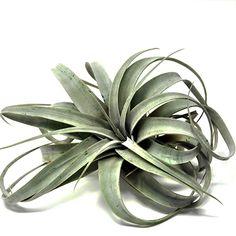 Amazon.com : Tillandsia Xerographica 6-8 inch, Air Plant : Garden & Outdoor Epiphyte, Air Plants, Outdoor Gardens, Succulents, Amazon, Amazons, Riding Habit, Gardens, Amazon River