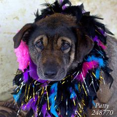 01/21/15-Conroe, TX - Official Site of Montgomery County Animal Shelter January 11 · Edited · I'M SPECIAL BECAUSE: I'm a senior sweetie! Sadly, I am also severely overweight, and need a home that will love me enough to feed me properly, and give me adequate age-appropriate exercise. Patty, ID: A248770 (Location: FOSTER HOME) Female, Chow/Shepherd mix, 74 lbs Intake: 1/9/2015 ***I am in a FOSTER HOME, not at the shelter - please EMAIL mcas_online_team@hotmail.com for more information.***