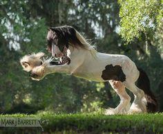 Gypsy Vanner Stallion, The Gypsy King owned by Gypsy Gold horse farm.