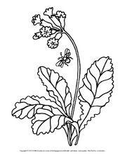 Ausmalbild Schlusselblume 1 Pdf Ausmalen Ausmalbilder Blumen Ausmalbilder