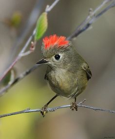 This is a male Ruby Crowned Kinglet. The orange to bright red crests are only found on males, and are generally not raised unless the bird is excited.