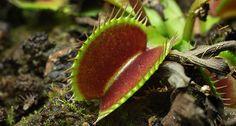 Genetic analysis suggests that Venus flytraps repurposed plant defenses against herbivores to live the carnivore life.