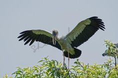 open billed stork bird sanctuary mysore - Photography by Shikha Deep in Birds at touchtalent 68811