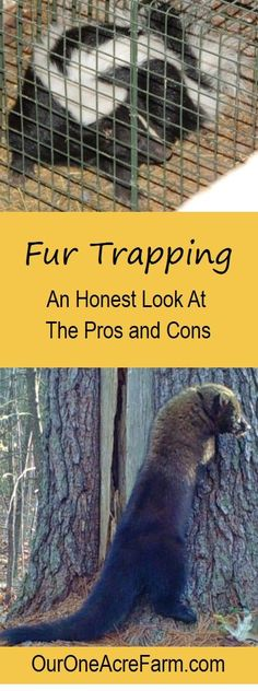 "Is fur trapping good or bad, or in between? Types of traps, humaneness, livestock protection, impact on wildlife populations & disease,  trapper education, laws, & monitoring, & non-target captures are discussed here. This honest post profiles of 2 trappers and 1 animal rights activist, and reviews research studies. It's complicated & you need to decide for yourself what the ""truth"" is before embracing it as supplemental income for your homestead."