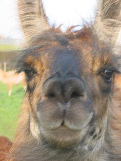 by Hillview Llamas, Frodsham, UK Llama Pictures, Llama Alpaca, Alpacas, Animals, Animaux, Animal, Animales, Animais