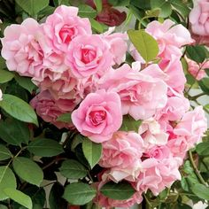 Climbing Pinkie A great choice for fences, columns, and trellises, this lightly fragrant rose requires no special care.
