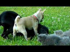 ¡Mira cómo defiende este Chihuahua a los gatitos!