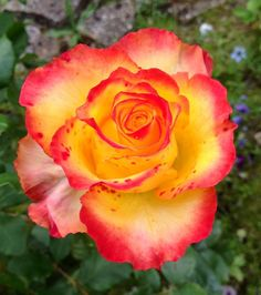Tequila Sunrise rose - I think this must be the name of one of my roses