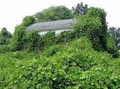 Kudzu Plant........Saw this when we visited North Carolina.  Amazing how it just takes over anything standing still.