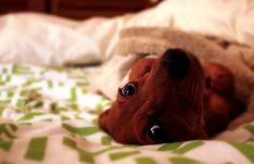 eyes dachshund photo dog