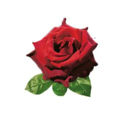 Róża Miniaturowa - Rosa 'Inspiration Optima'