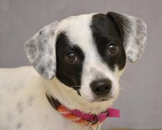 Meet Pepper an adopted Terrier & Hound Mix Dog, from Animal Friends Humane Society in Hamilton, OH on Petfinder. Learn more about Pepper 34783667 today. Humane Society, Terrier, Adoption, Meet, Stuffed Peppers, Dogs, Animals, Foster Care Adoption, Animales