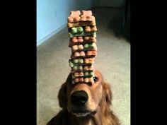 how many treats can you balance on your nose?