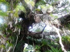 An amazing tree on the Heaphy Track. Great Walks, South Island, North West, Beautiful Landscapes, Conservation, Wilderness, Fields, Coastal, National Parks