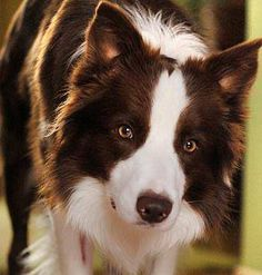 """Click visit site and Check out Best """"Border Collie"""" T-shirts. This website is top-notch.  Tip: You can search """"your name"""" or """"your favorite shirts"""" at search bar on the top. #BorderCollie"""