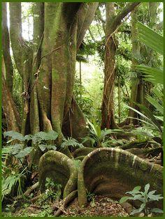 Tropical Fig Tree, Hawaii