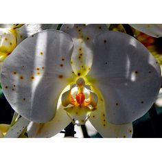 Pretty little orchid hiding from the sun. #towerhillbotanicgarden #towerhill #orchid #flower #flowers #flowerporn #flowerslovers #orangerie #flowerstalking #flowerstalker by redhairedphotographer