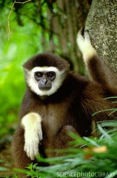 ENDANGERED: Lar gibbon aka white-handed gibbon - found in Indonesia, Laos, Malaysia, Myanmar and Thailand, historically extended from southwest China to Thailand and Burma south to the whole Malay Peninsula in primary and secondary tropical rain forests, also present in the northwest portion of the island of Sumatra, likely extinct in China, but if they still exist, they would only be found in southwest Yunnan