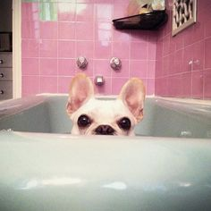 Ana's house needs this pink and blue bathroom with this Frenchie in it.