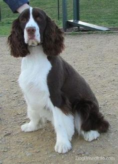 English springer and cavalier spaniel mix....this ...