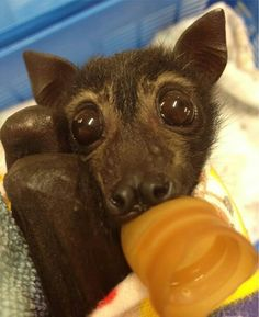 And another rescue baby bat