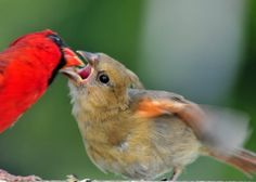Baby Northern Cardinal being fed