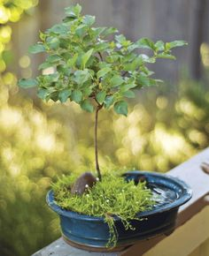 Bonsai 101 -  Miniaturize your favorite tree with this ancient art.