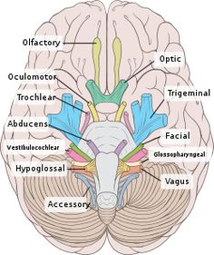 There are 12 pairs of cranial nerves. All of them arise from brain and brain stem.Learn about all the 12 cranial nerves, their anatomy and functions. Cranial Nerves Anatomy, Nerve Anatomy, Human Anatomy And Physiology, 12 Cranial Nerves Mnemonic, Human Brain Anatomy, Anatomy Organs, Medical Anatomy, Nursing Notes, Ob Nursing