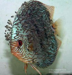 Turquoise Discus Fish with lots of fry More