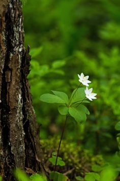 Little white forest flowers Forest Flowers, Wild Flowers, Forest Plants, Belle Image Nature, Woodland Garden, Walk In The Woods, Belle Photo, Beautiful World, Shrubs