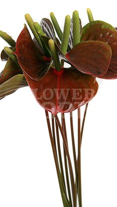 Anthurium Exciting Love