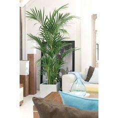 Palm Kentia Howea XL                                                                                                                                                                                 More