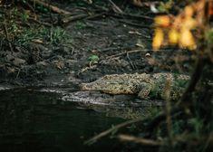 Crocodiles can be spotted on boat safaris on Lake Mburo, in Uganda. #uganda #safari #crocodile #africa Gorilla Trekking, Uganda Travel, Mountain Gorilla, List Of Activities, Paradise Found, Baboon, Crocodiles, Tour Operator, Photo Location