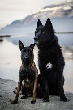 A malinois and maybe a wolf-dog hybrid? Gorgeous dogs. Instinct Photography