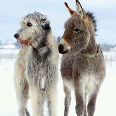 donkey and Irish Wolfhound...