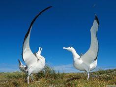 Albatross nice!