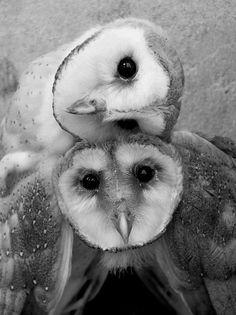 Curious owls! Love the head tilt! #owl #cute #animals #photography #black and white #birds #nature #beauty