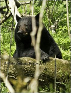 Black bear at Cades Cove...