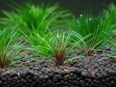:RARE plants: Blood vomit/ Australian blood